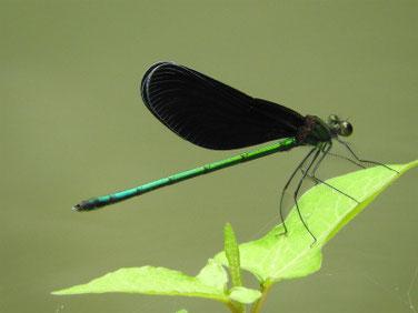 羽黒蜻蛉(はぐろとんぼ)親水緑道 210914撮影 655