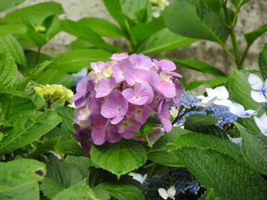紫陽花 自宅庭 160609撮影 44