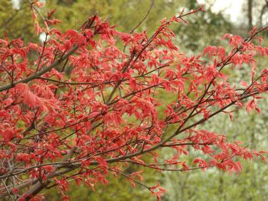 春もみじ 散策路公園 200327撮影 1017