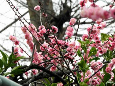 花桃の花(はなもも) 散策路 210305撮影 1200