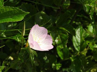 昼咲月見草(ひるさきつきみそう)散策路200511撮影1127