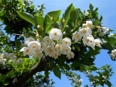 萵苣の木(エゴノキ)マクロ 190510撮影 860