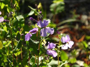 紫花菜(むらさきはなな)親水緑道 210310撮影 1193