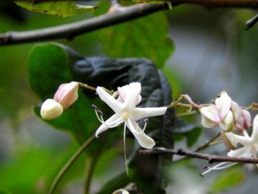 臭木の花(くさぎ) 親水緑道 201013撮影 445