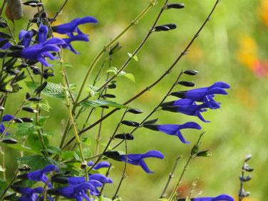 青紫ハーブセージ 散策路 170925撮影 130
