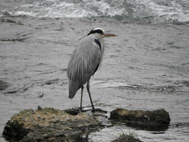 青鷺(あおさぎ) 散策路河川 171201撮影 128