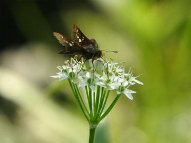韮の花の蛾 散策路170925撮影 114