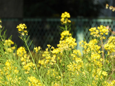 菜の花(なのはな) 散策路 210324撮影 1247