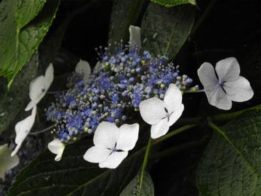 額紫陽花(がくあじあさい) 散策路 170614撮影 188