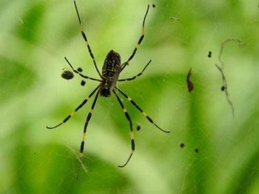 木槿の木の蜘蛛 散策路 170925撮影 113