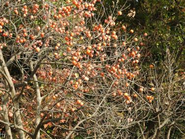 柿の実(かき) 散策路 201118撮影 480