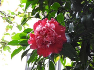 椿 実家の庭 161111撮影 72