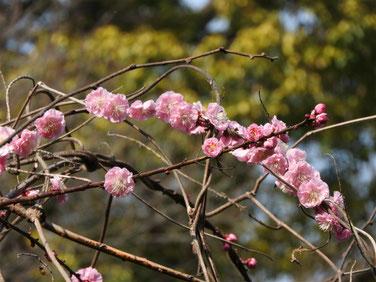 梅の花 散策路公園 170320撮影 131