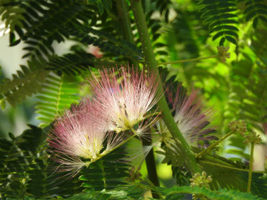 合歓の花(ねむのはな) 散策路 170610撮影 170