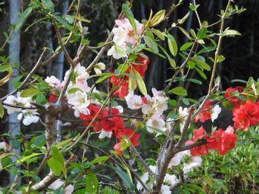 木瓜の花(ぼけのはな) 親水緑道 210326撮影 1258