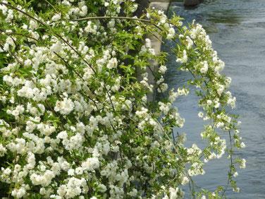 木香薔薇(もっこうばら)白 散策路 170509撮影 254