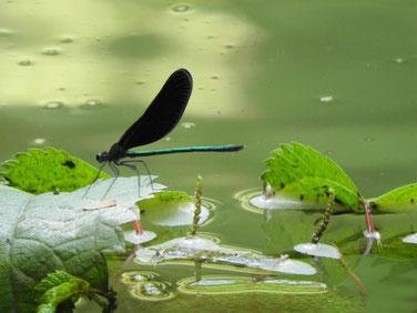 羽黒蜻蛉(はぐろとんぼ)散策路池 180717撮影 206