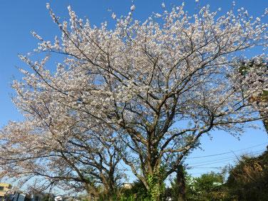 桜(さくら) 散策路 200406撮影 1038