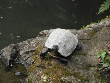 アカミミガメ 散策路公園池 170324撮影 76