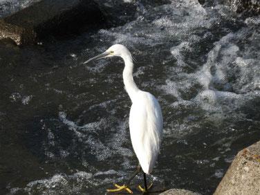 小鷺(こさぎ) 散策路河川 180421撮影 174