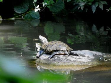 アカミミガメ 散策路親水公園池 180717撮影 205
