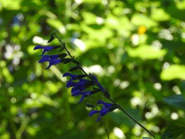青紫ハーブセージ 散策路公園 180710撮影 432