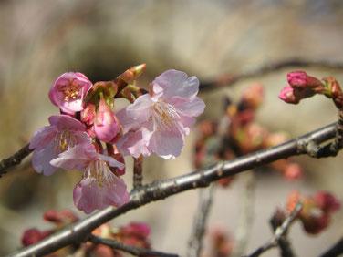 河津桜(かわずざくら)散策路 210209撮影 191