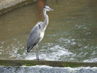 青鷺(あおさぎ) 散策路河川 201003撮影 552