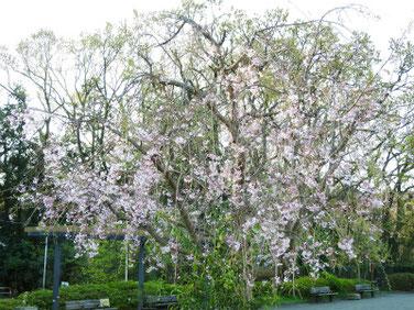 しだれ桜 散策路公園 200406撮影 1029