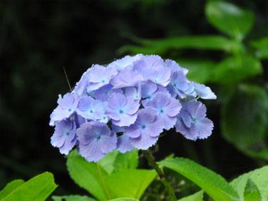 紫陽花(アジサイ) 散策路 210530撮影 1486