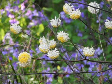 三椏の花(みつまた) 散策路 210324撮影 1249