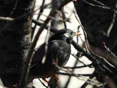 椋鳥(むくどり) 親水緑道 210216撮影 604