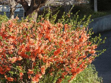 木瓜の花(ぼけのはな) 散策路 190317撮影 630
