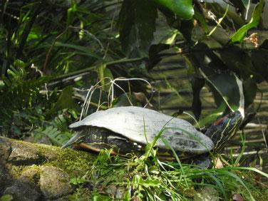 アカミミガメ 親水公園 200326撮影 487