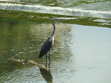 青鷺(あおさぎ) 散策路河川 200816撮影 536