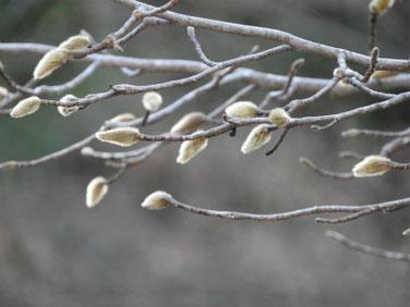 辛夷の芽(こぶし) 散策路 180103撮影 60