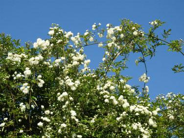 木香薔薇(もっこうばら)白色 散策路210411撮影 1328