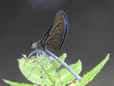 羽黒蜻蛉(はぐろとんぼ)親水緑道 210914撮影 656