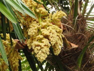棕櫚の花(しゅろ)散策路 180423撮影 484