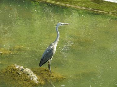 青鷺(あおさぎ) 散策路河川 200816撮影 539