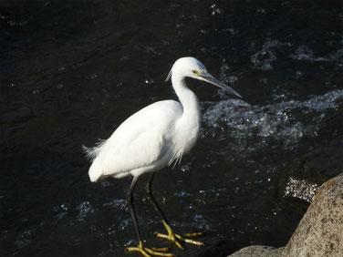 小鷺(こさぎ) 散策路河川 180421撮影 173