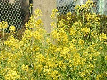 菜の花(なのはな) 散策路 200321撮影 992