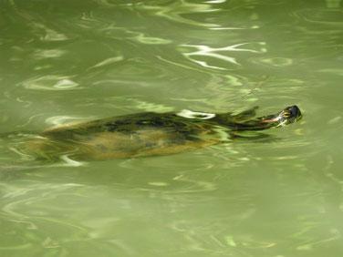 泳ぐ亀 親水公園池 180928撮影 222