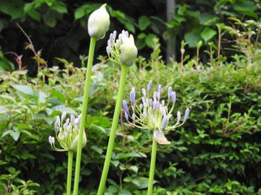 紫君子蘭(むらさきくんしらん)散策路200621撮影 789
