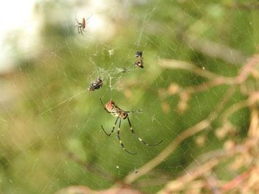 蜘蛛 散策路 171109撮影 121