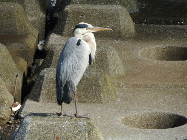 青鷺(あおさぎ) 散策路河川 210710撮影 636