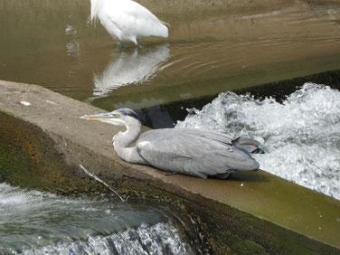青鷺(あおさぎ) 散策路河川 201003撮影 549
