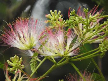 合歓の花(ねむのはな) 散策路 170614撮影 184