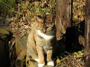猫 三溪園 161202撮影 38