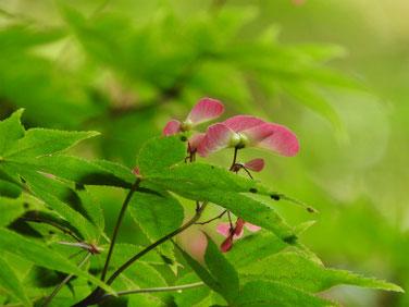 楓の翼果(カエデのよくか)親水緑道190511撮影 880